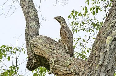Great Potoo (Nyctibius grandis) in tree, Pantanal, Mato Grosso State, Western Brazil  -  Luiz Claudio Marigo/ npl