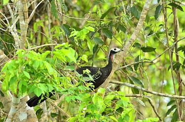 Blue-throated Piping-guan (Aburria cumanensis) Encontro das Aguas State Park, Pantanal, Mato Grosso State, Western Brazil  -  Luiz Claudio Marigo/ npl