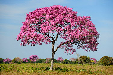 Pink Ipe tree (Tabebuia ipe, Handroanthus impetiginosus) in flower, Pantanal, Mato Grosso State, Western Brazil  -  Luiz Claudio Marigo/ npl