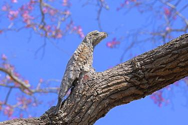 Great Potoo (Nyctibius grandis) perched and camouflaged on a Pink Ipe Tree (Tabebuia ipe)Pantanal, Mato Grosso State, Western Brazil  -  Luiz Claudio Marigo/ npl