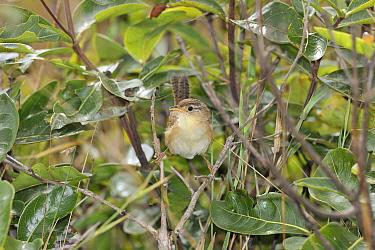 Grassland Sparrow (Amnodramus humeralis) Serra da Canastra National Park,Cerrado Region, Minas Gerais State, Southeastern Brazil  -  Luiz Claudio Marigo/ npl