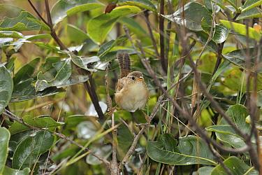 Grassland Sparrow (Ammodramus humeralis) Serra da Canastra National Park,Cerrado Region, Minas Gerais State, Southeastern Brazil  -  Luiz Claudio Marigo/ npl