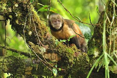 Yellow-breasted Capuchin monkey, or Buff-headed Capuchin monkey (Sapajus xanthosternos) in montane Atlantic Rainforest of Serra Bonita Private Natural Heritage (RPPN Serra Bonita), Camacan, Southern B...  -  Luiz Claudio Marigo/ npl