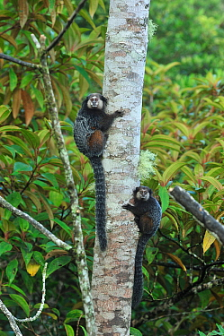 Wieds Black-tufted-ear Marmoset (Callithrix kuhlii) climbing tree, in montane Atlantic Rainforest of Serra Bonita Private Natural Heritage (RPPN Serra Bonita), Camacan, Southern Bahia State, Eastern B...  -  Luiz Claudio Marigo/ npl