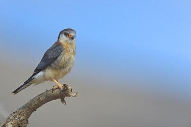 African pygmy falcon (Polihierax semitorquatus) perched on a branch, Samburu, Kenya, October  -  Loic Poidevin/ NPL