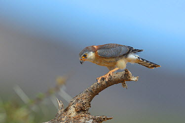 African pygmy falcon (Polihierax semitorquatus) perched on branch, Samburu, Kenya, October  -  Loic Poidevin/ NPL