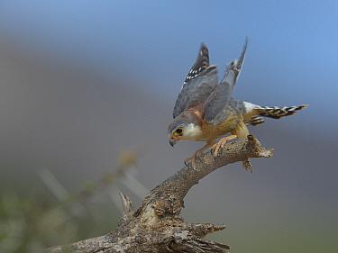 African pygmy falcon (Polihierax semitorquatus) on branch about to take off, Samburu, Kenya, October  -  Loic Poidevin/ NPL