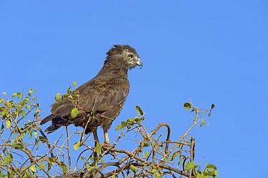 Brown snake eagle (Circaetus cinereus) perched at top of tree, Samburu, Kenya, October  -  Loic Poidevin/ NPL