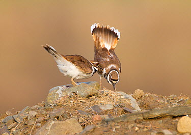 Killdeer (Charadrius vociferus) male bowing and spreading tail feathers as his mate approaches, performing the Nest scrape ceremony as they investigate potential nest sites, New York, USA, April  -  Marie Read/ npl