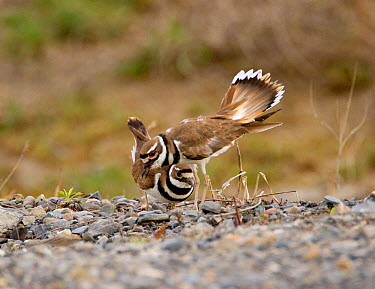 Killdeer (Charadrius vociferus) male bowing and spreading his tail feathers as his mate approaches, performing the Nest scrape ceremony as they investigate potential nest sites, New York, USA, April  -  Marie Read/ npl