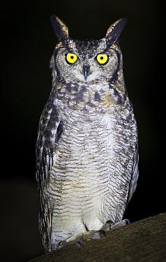 Spotted eagle owl (Bubo africanus) portrait at night, Katete, Zambia February  -  npl/ npl