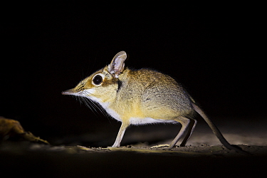 Four-toed elephant shrew (Petrodromus tetradactylus) at night, South Luangwa National Park, Zambia July  -  npl/ npl