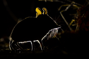 Four-toed elephant shrew (Petrodromus tetradactylus) silhouetted at night, South Luangwa National Park, Zambia July  -  npl/ npl