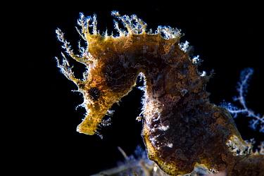 Female short snouted seahorse (Hippocampus hippocampus) backlit Capo Coda Cavallo, Olbia, Sardinia, Italy Mediterranean Sea  -  npl/ npl
