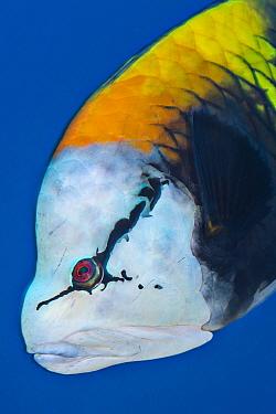 Portrait of face of male Slingjaw wrasse (Epibulus insidiator) Ras Umm Sid, Sharm El Sheikh, Sinai, Egypt Gulf of Aqaba, Red Sea  -  npl/ npl
