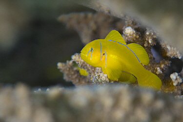 Lemon coral goby (Gobiodon citrinus) sheltering in the branches of coral (Acropora sp) Gubal Island, Egypt Strait Of Gubal, Red Sea  -  npl/ npl
