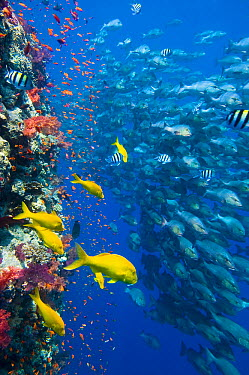 The vertical reef wall at Shark Reef, Ras Mohammed, with Scalefin anthias (Pseudanthias squamipinnis) and soft corals (Dendronephthya spp) Yellowsaddle goatfish (Parupeneus cyclostomus) and school of...  -  npl/ npl
