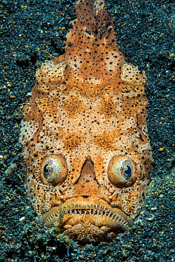 Reticulate stargazer (Uranoscopus sp) emerging from the sand Bitung, North Sulawesi, Indonesia Lembeh Strait, Molucca Sea  -  npl/ npl