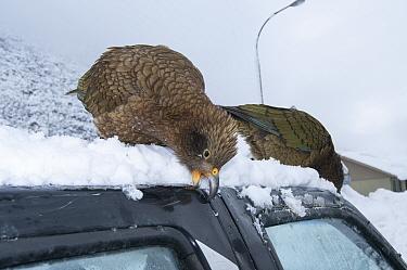 Keas (Nestor notabilis) damaging vehicle, Arthurs Pass National Park, Southern Alps, New Zealand, August  -  npl/ npl