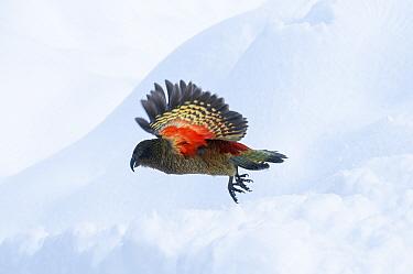 Kea (Nestor notabilis) in flight, Arthurs Pass National Park, Southern Alps, New Zealand, August  -  npl/ npl