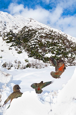Keas (Nestor notabilis) in habitat, Arthurs Pass National Park, Southern Alps, New Zealand, August  -  npl/ npl