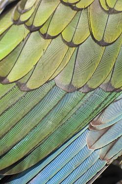 Kea (Nestor notabilis) close up of wings, Arthurs Pass National Park, Southern Alps, New Zealand, August  -  npl/ npl