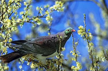 New Zealand Pigeon (Hemiphaga novaeseelandiae)feeding on apple blossom, endemic, Takaka Hill, Golden Bay, South Ilsand, New Zealand  -  npl/ npl