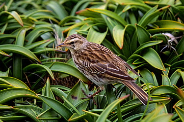 New Zealand Pipit (Anthus novaeseelandiae aucklandica) foraging in fellfield among Bulbinella megaherb Enderby Island, Auckland Group, New Zealand Subantarctic, endemic  -  npl/ npl