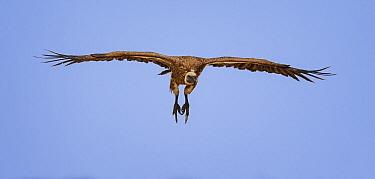 White-backed vulture (Gyps africanus) in flight, Etosha National Park, Namibia  -  Sharon Heald/ npl