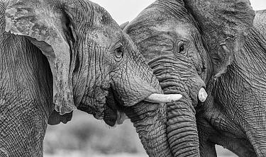 Black and white photograph of African elephant (Loxodonta africana) two bulls head pushing, Etosha National Park, Namibia  -  Tony Heald/ npl