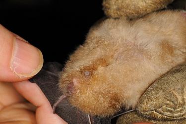 Bat scientist inspecting the genitalia of a male Greater horseshoe bat (Rhinolophus ferrumequinum) during a winter hibernation survey in an old Bath stone mine, Wiltshire, UK, February Model released  -  Nick Upton/ npl
