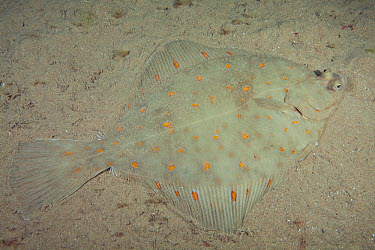 Plaice (Pleuronectes platessa) Bouley Bay, Jersey, British Channel Islands  -  Sue Daly/ npl