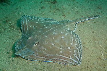 Small-eyed Ray (Raja microocellata) on sea floor, Bouley Bay, Jersey, British Channel Islands  -  Sue Daly/ npl