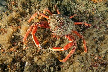Spiny Spider Crab (Maja squinado) Guillaumesse, Sark, British Channel Islands  -  Sue Daly/ npl