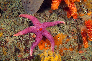 Bloody Henry Starfish (Henricia oculata) Boue Tirlipois, Sark, British Channel Islands  -  Sue Daly/ npl