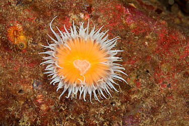 Elegant anemone (Sagartia elegans) Guillaumesse, Sark, British Channel Islands  -  Sue Daly/ npl