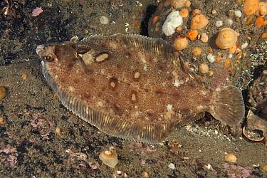 Flounder (Platichthys flesus) St Abbs Voluntary Marine Reserve, Scotland (North Sea)  -  Sue Daly/ npl