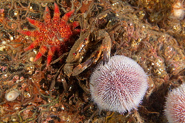 Common sun star (Crossaster papposus) Velvet Swimming Crab (Necora puber) and Common Sea Urchin (Echinus esculentus) St Abbs Voluntary Marine Reserve, Scotland (North Sea)  -  Sue Daly/ npl