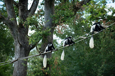 Mantled guereza (Colobus guereza) group of three on rope bridge, captive at Monkey Valley, Poitou, France  -  Jean E. Roche/ npl