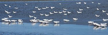 Slender bill gull (Larus genei) flock in the Salin de Giraud salt pans, Camargue, France, September  -  Jean E. Roche/ npl