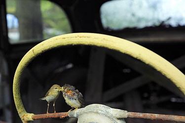 Willow warbler ( Phylloscopus trochilus) feeding young on car steering wheel in car graveyard, Bastnas, Vastmanland, Sweden, June  -  Pal Hermansen/ npl
