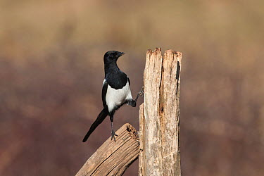 Magpie (Pica pica) perched on fence post, Cremlingen, Lower Saxony, Germany, March  -  Kerstin Hinze/ npl
