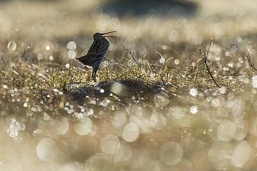Great snipe (Gallinago media) displaying in dew covered grass, Roeros, Norway, May  -  Erlend Haarberg/ npl