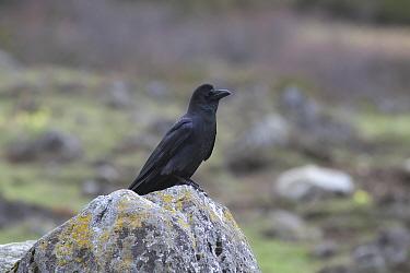 Large-billed crow (Corvus macrorhynchos) Mount Qomolangma National Park, Dingjie County, Qinghai-Tibet Plateau, Tibet, China, Asia  -  Dong Lei/ npl