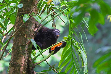 Hoolock gibbon (Hoolock leuconedys) feeding, Gaoligong Mountain National Nature Reserve, Tengchong county, Yunnan Province, China, Asia  -  Dong Lei/ npl