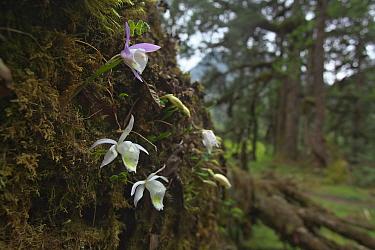 Orchid (Pleione hookeriana) flowers, Makalu Mountain, Mount Qomolangma National Park, Dingjie County, Qinghai-Tibet Plateau, Tibet China, Asia  -  Dong Lei/ npl