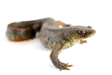 Spanish Ribbed Newt (Pleurodeles waltl) against a white background Captive occurs in Iberian Peninsula and Morocco  -  Bert Willaert/ npl