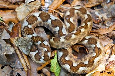 Nose-horned Viper (Vipera ammodytes) in leaf litter Macedonia  -  Bert Willaert/ npl
