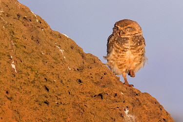 Burrowing owl (Athene cunicularia), adult sleeping, Serra da Canastra National Park, Brazil, January 2014  -  Ingo Arndt/ npl