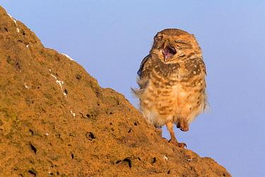 Burrowing owl (Athene cunicularia), adult yawning, Serra da Canastra National Park, Brazil, January 2014  -  Ingo Arndt/ npl